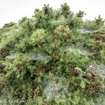 Wet spider webs on gorse in the mist